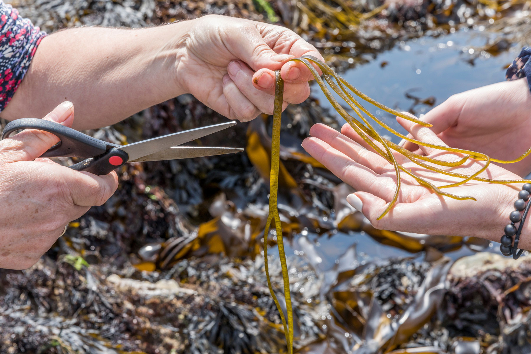 Cutting dead mans bootlaces seaweed in rock pool kilfarrasy  waterford x 9470