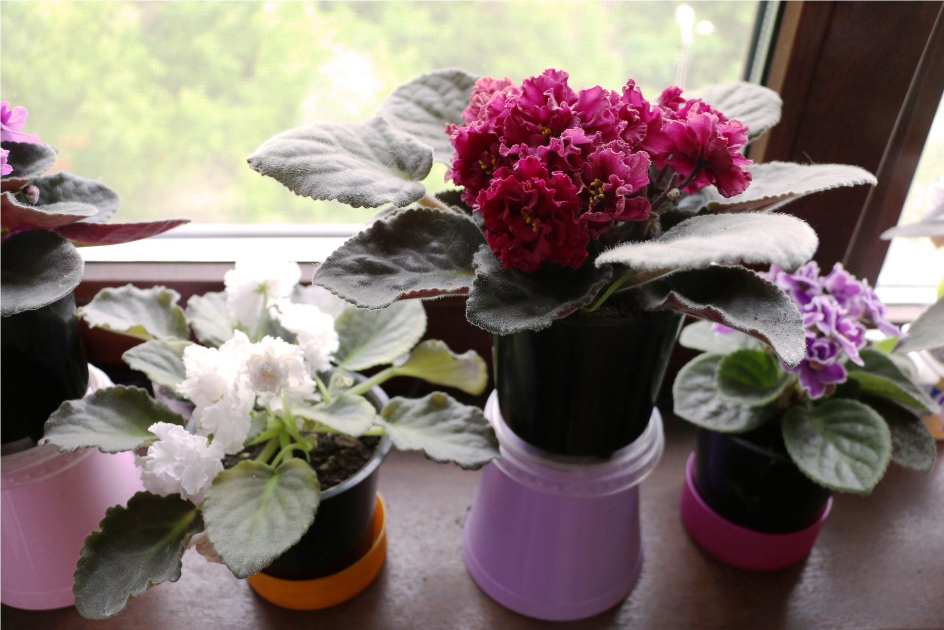 03 ninok violets
